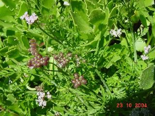 Torilis arvensis *