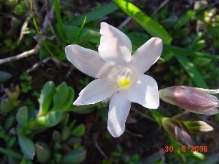 Freesia leichtlinii subsp. alba