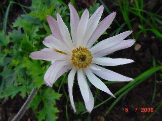 Anemone tenuifolia