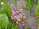 Lachenalia unifolia var. wrightii