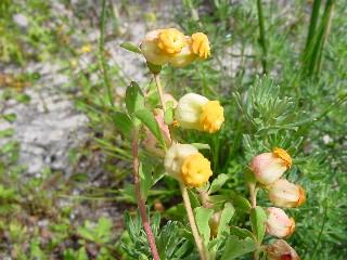 Hermannia ternifolia