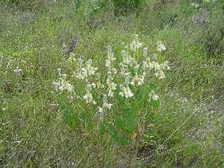 Heliophila linearis var. reticulata