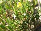 Acrosanthes teretifolia
