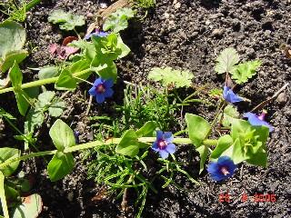 Anagallis arvensis subsp. caerulea *