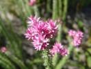 Lachnospermum umbellatum