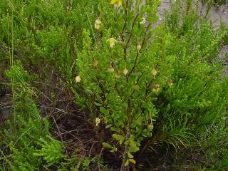 Zygophyllum flexuosum