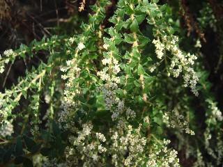 Brunia cordata