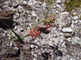 Lapeirousia micrantha