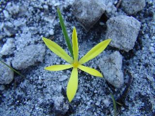 Pauridia monophylla