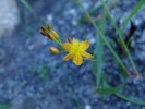 Bulbine favosa