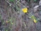 Linum quadrifolium