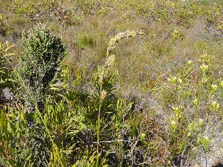 Tetraria thermalis