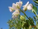 Virgilia oroboides subsp. oroboides