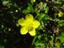 Ranunculus muricatus *