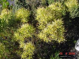 Leucadendron xanthoconus