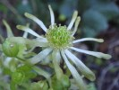 Anemone vesicatoria