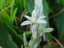Trachyandra ciliata