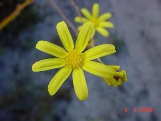Othonna multicaulis
