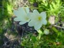 Sparaxis grandiflora