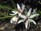 Wurmbea punctata