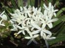 Corymbium villosum