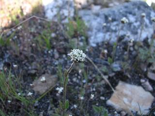 Phyllopodium heterophyllum