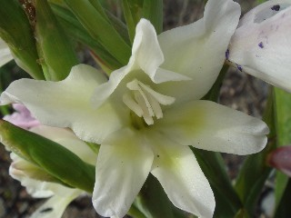 Gladiolus grandiflorus