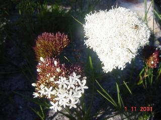 Corymbium cymosum