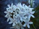 Corymbium africanum subsp. scabridum var.  scabridum