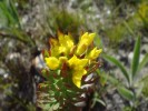Gnidia subulata
