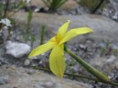 Bobartia filiformis
