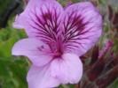 Pelargonium cucullatum subsp. cucullatum