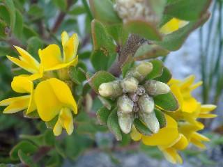 Aspalathus psoraleoides