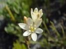 Ornithogalum graminifolium