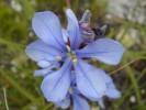 Aristea racemosa