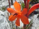 Watsonia schlechteri