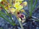 Tritoniopsis parviflora var. angusta