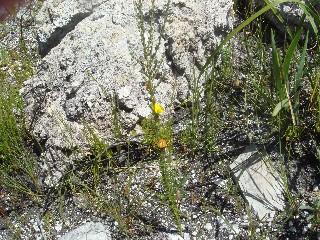 Aspalathus oblongifolia