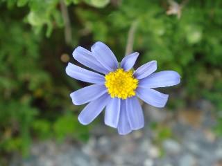 Felicia amoena subsp. amoena