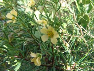 Zygophyllum spinosum