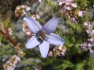 Prismatocarpus brevilobus