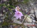 Ixia micrandra