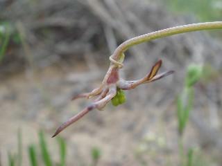 Ornithoglossum viride
