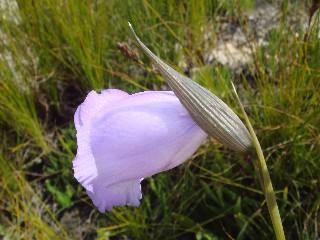 Gladiolus bullatus