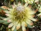Protea scolymocephala