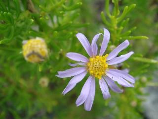 Felicia filifolia