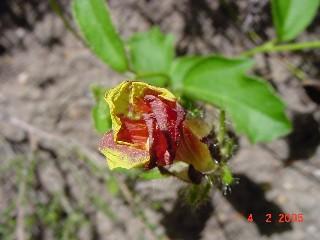 Hibiscus aethiopicus var. aethiopicus