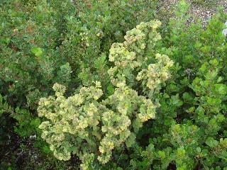 Hermannia salviifolia var. salviifolia