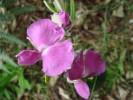 Podalyria oleaefolia