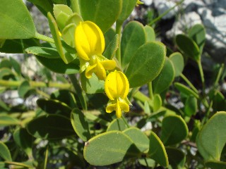 Rafnia capensis subsp. ovata